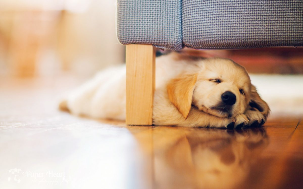 golden-retriever-puppy-sleeping-labrador-pets-small-labrador-1200x750.jpg