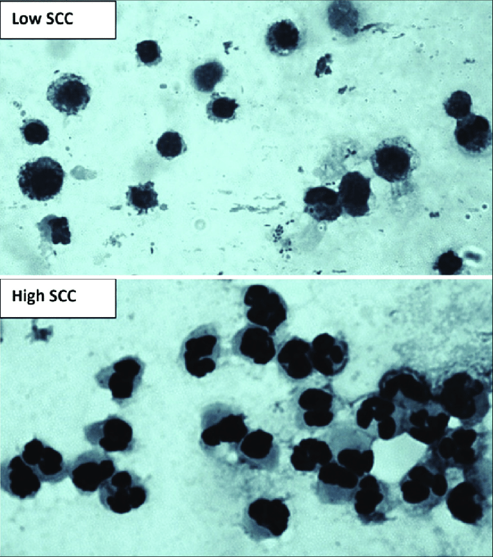 Figure-4-Microscopic-examination-of-milk-somatic-cells-smear-showing-that-macrophages.png