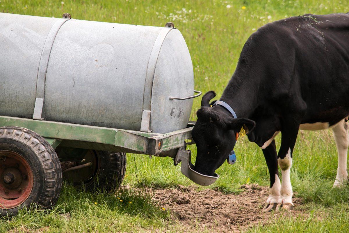 cow-784593_1920-1200x800.jpg
