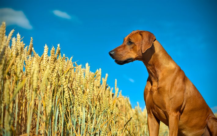 thumb2-rhodesian-ridgebacks-4k-sad-dog-pets-wheat-field.jpg